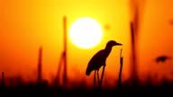 Heron on sunrise video