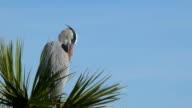 Heron Preening Closeup video