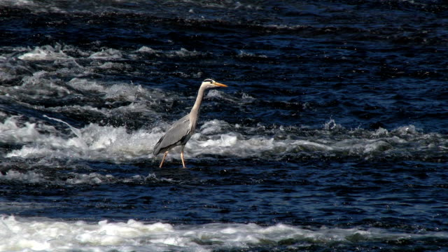 Heron standing in a fast flowing Scottish river video