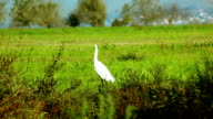 Heron standing in grass video