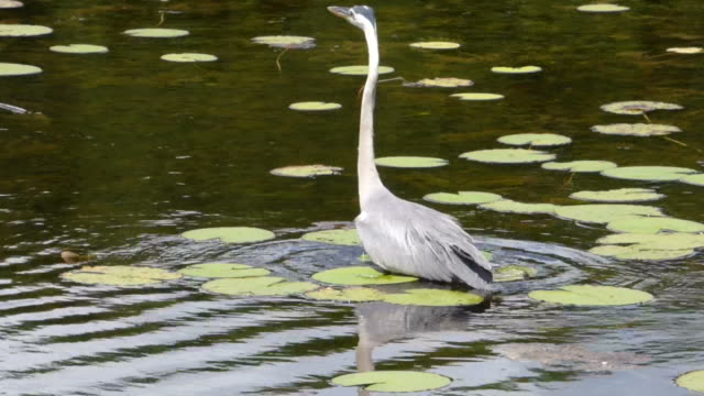 Heron Wading in Water Up To His Belly Looking For Food, With Birds,Frogs and Wetlands Sounds video