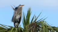 Heron Waiting For His Mate video