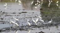 Heron Walks in  paddy. video