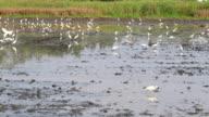 Heron Walks in  paddy:Time Lapse video