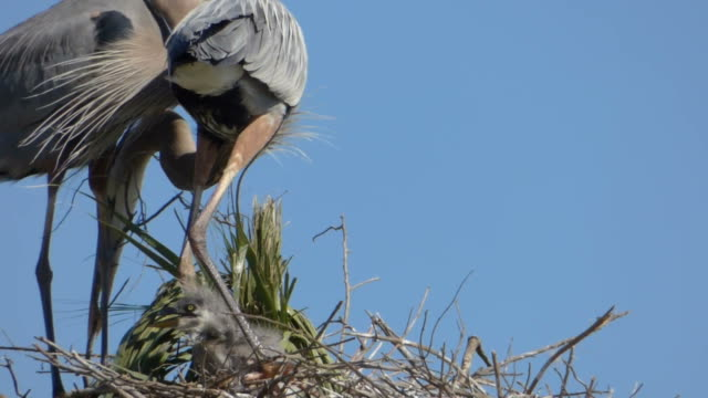 Heron With Two Fuzzy Chicks Building a Nest video