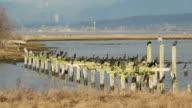 Herons and Cormorants, Boundary Bay, BC video