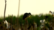 Herons in colony video