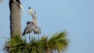 Herons Kissing video