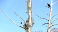 Herons nest with buzzards video