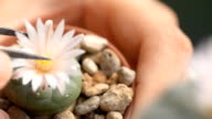 Hervast cactus by keeping pollen of flower with forceps video