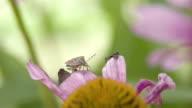 A Heteroptera bug crawling on the petal video