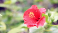 Hibiscus flower video