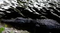 Hidding Alligators video