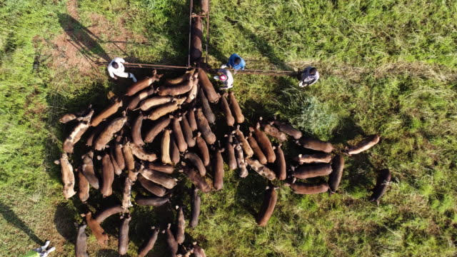 High aerial view of farm workers counting pigs on a free range pig farm video