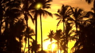 LOW ANGLE VIEW: High coconut palm trees moving in wind at amazing golden sunset video