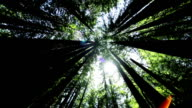 High-angle View Through Giant Redwood Trees video