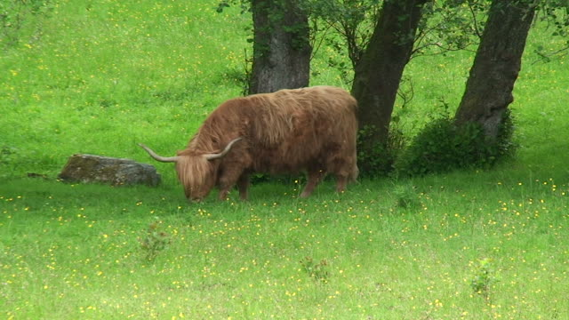 Highland Cow (Bos Taurus) video