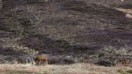 Highland deer on hills in front of heather video