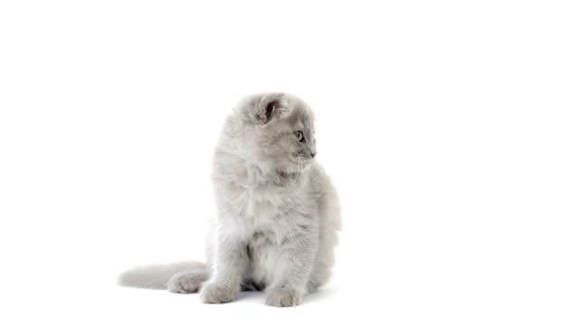 Highland fold kitten cleaning itself video
