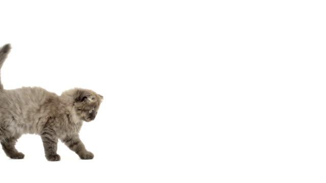 Highland fold kitten walking video