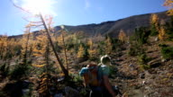 Hiker ascends trail through alpine larches video