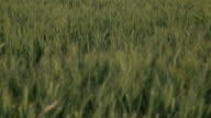 Hills with green Wheat fields in the Spring video