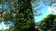 HD: Hilo Tree video