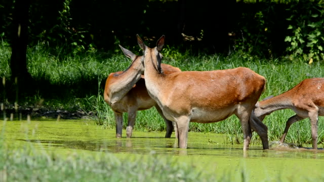 Hind walking in shallow water on sunny day in spring video