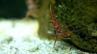 Hingebeak Shrimp video
