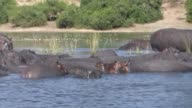 Hippo herd in water video
