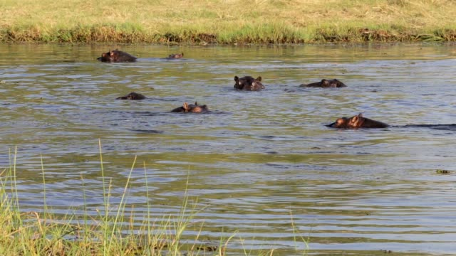 Hippo Hippopotamus, Okavango delta, Africa safari wildlife video
