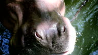 Hippo open mouth video