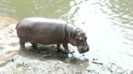 Hippo (Hippopotamus amphibius) walking on beach in nature video
