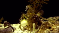 Hippocampus seahorse swimming on black video