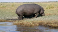 Hippopotamus in Chobe National Park video