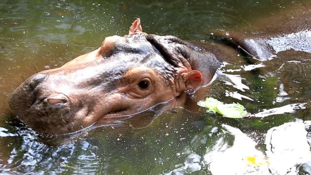 Hippopotamus. video
