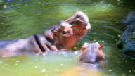 Hippopotamus. video