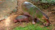 hippopotamus video