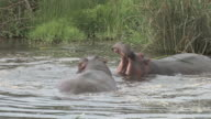 Hippos Fighting video