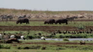 hippos grazing near waterhole video