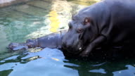 Hippos in love video