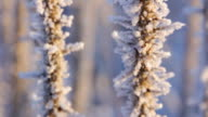 Hoarfrost on branches of bushes. video