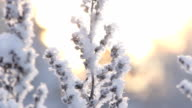 Hoarfrost on branches of bushes video