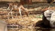 Hog deer eating grass food. video