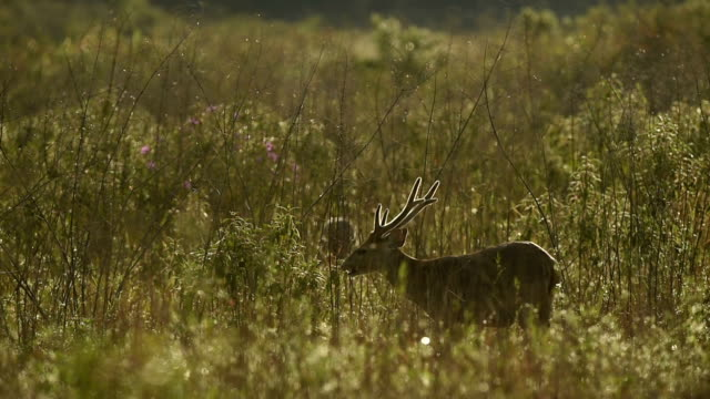 Hog deer video