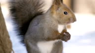 Hokkaido Squirrel eating sunflower seeds video