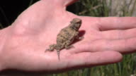 Holding a Horny Toad video