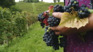 HD DOLLY: Holding Grapes In Vineyard video