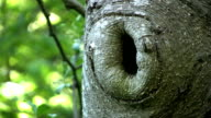 Hole In A Tree (HD 1080p30) video