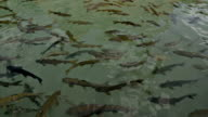 Holy fishes of Holy Lake (Fish Lake), Urfa video